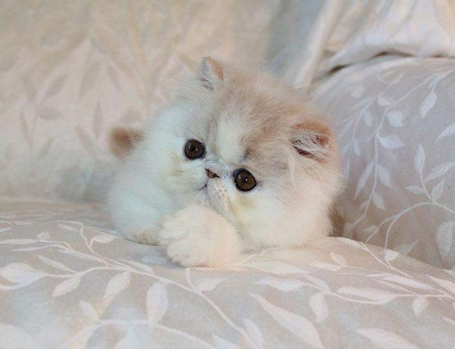 Alfenloch Moonlight Cream White Male Persian Kitten Persian Cat White Persian Kittens Persian Cat