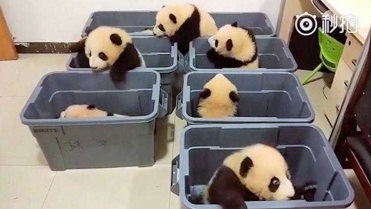 Top Pandas (2018) 🔴 Cute and Funny Panda Videos Compilation - Pandas Ado...