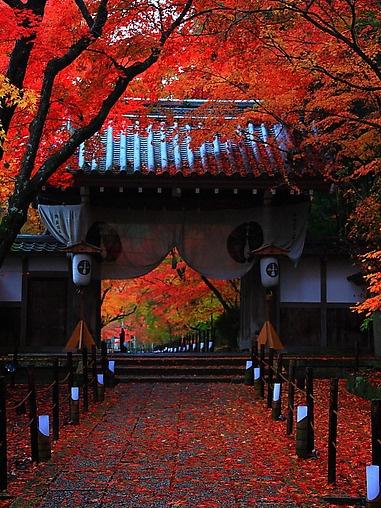 Momiji (maple trees) Kyoto, Japan