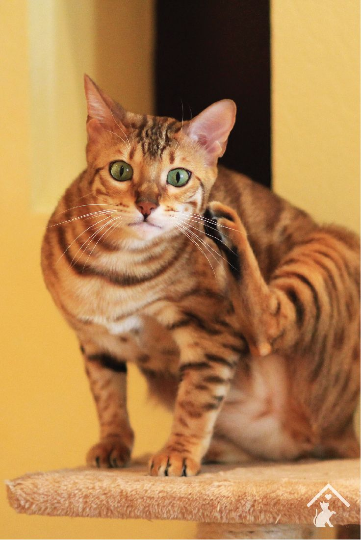 11 best Bengal Cat Breed images on Pinterest | Bengal cats ...