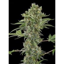 Tipos de semilla:Auto 100% feminizada  Banco: Dinafem Seeds  Genotipo: White Widow Auto X Haze AUTO  Floración: 75 dias  Producción: 40-180gr/planta