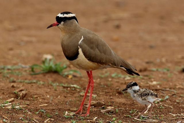 Crowned Lapwing, Vanellus coronatus, Kroonkiewiet. With chick, Potchefstroom, South Africa.