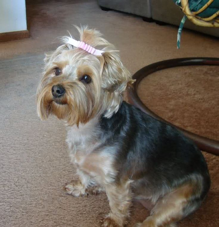 yorkie poo pictures haircuts 14 best yorkie cuts images on yorkie poo 4482