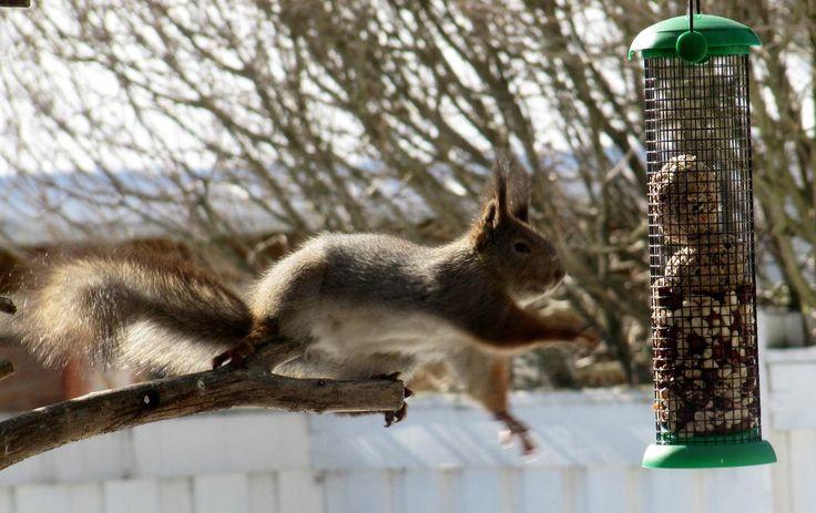 Oravalla on nälkä!