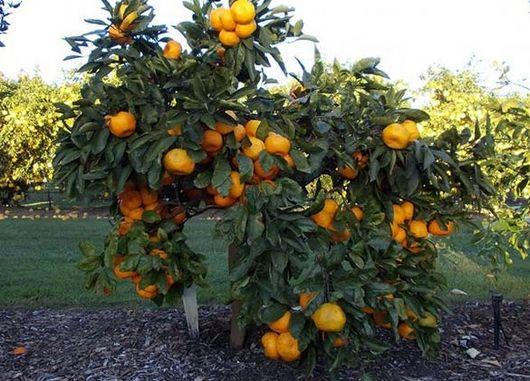 Pregon Agropecuario :: OPTIMIZAN PRODUCCIÓN DE CÍTRICOS MEDIANTE ÁRBOLES ENANOS - Frutihortícola - Fruticultura