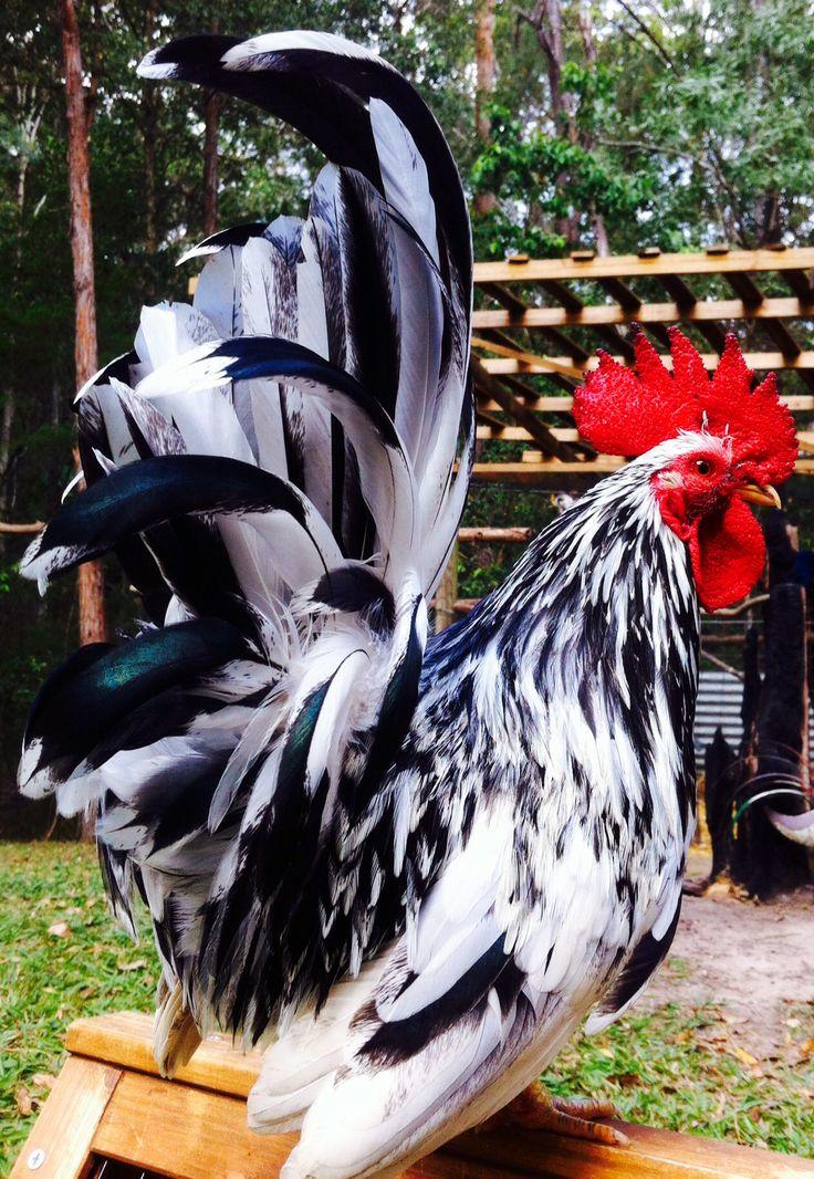 Bubbles my Jap Bantum rooster