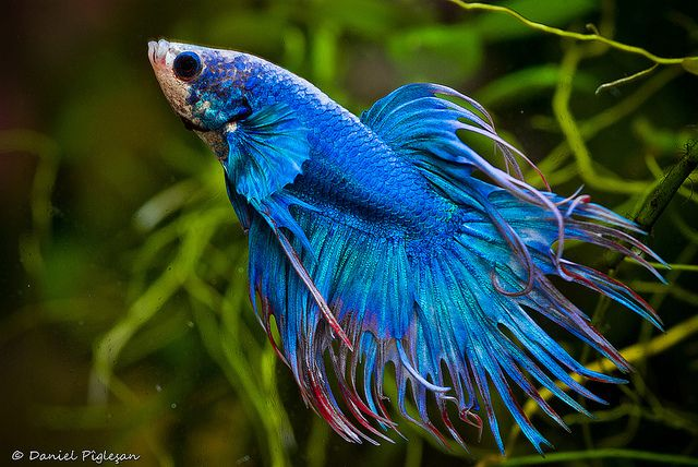 Tropical fish tropical fish species fighting fish for Exotic fish and pets