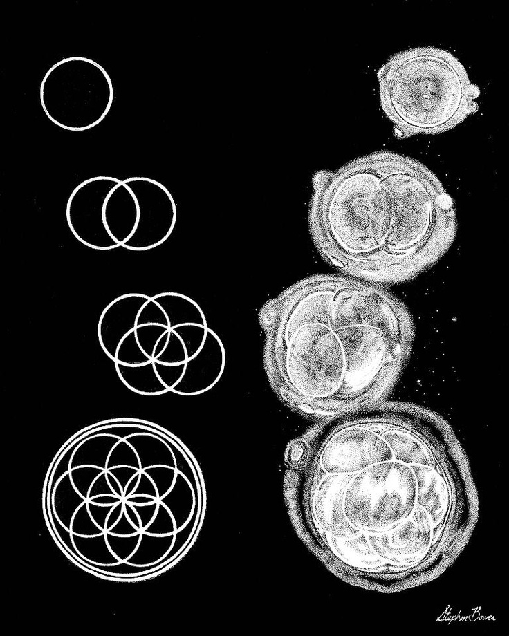 sacred geometry - First few stages of embryonic cell division correspond to vesica pisces  seed of life