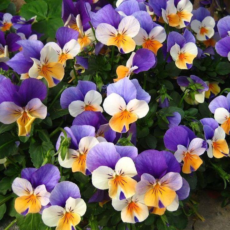 Egrow 100Pcs Pansy Seeds Mix Color Wavy Tri Color Flower
