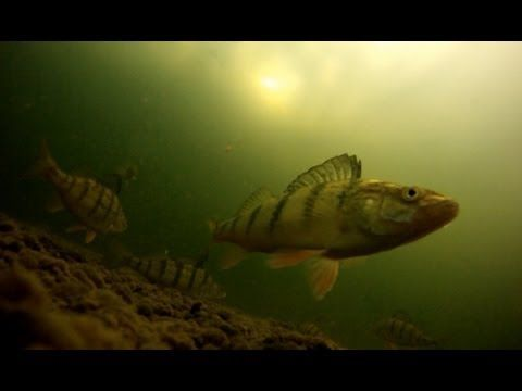 Yellow Perch Ice Fishing with Fish Eye View - Awesome Underwater Hook ups on GoPro Hero