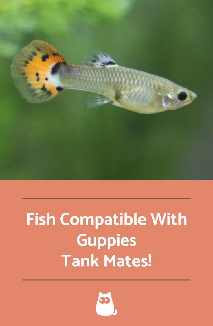 Fish Compatible With Guppies Tank Mates Fish List Fish Guppy