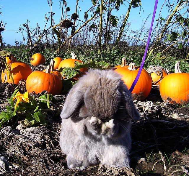 Bunny grooming in the Pumpkin Patch