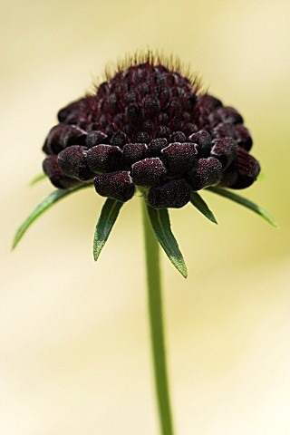 single black scabiosa in tall vintage bottle *to be clustered with mason jar & another shape vintage bottle