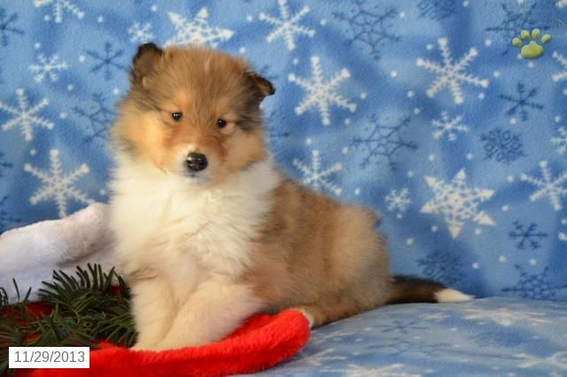 Collie Puppy for Sale