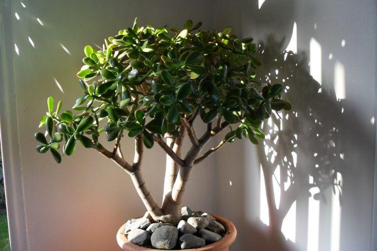 У многих из нас есть денежное дерево — «крассула», или «толстянка», иногда его также называют «деревом счастья», но далеко не всегда оно вырастает красивым. Из-за ошибок в уходе растение тянется вверх, его ветви тонкие, длинные, а листья есть только на верхушке. К сожалению, в городской квартире кра