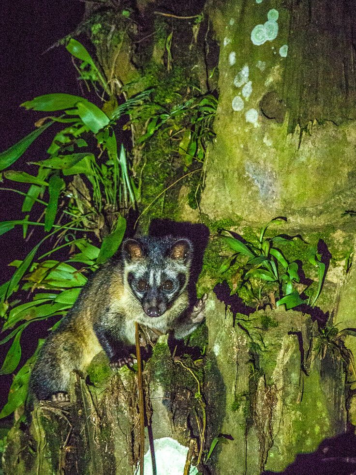 Asian Palm Civet in oil palm plantation by Mike Prince
