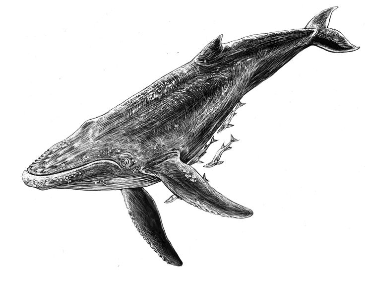 best 25 humpback whale tattoo ideas on pinterest whale