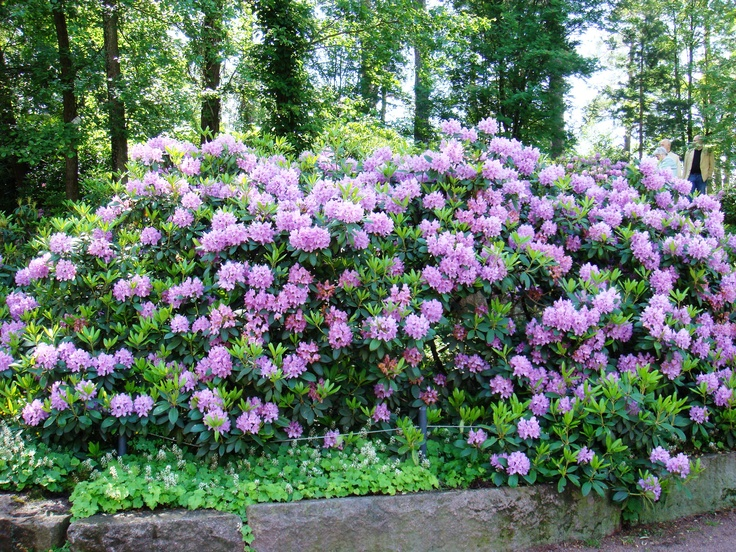Rhododendron in Sapokka water park