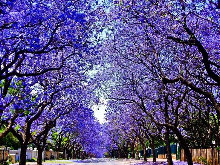"""Jacarandas in bloom"" ~ Pretoria, South Africa"