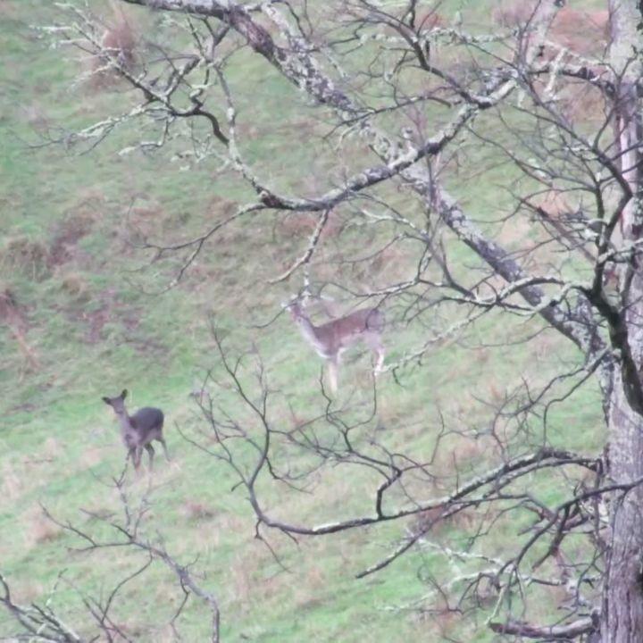These girls were not happy to see me ���� @zahunters_diaries @game.on.outdoors #zahuntersdiaries #zahunterscamo #gameonoutdoors #fallowdeer #fallow #doe #huntingaustralia #deerhunting #deer #hunting #camerahunter #wilddeer #hunt #photography #wildlife #wildlifephotography #huntingworldwide #huntress #shehuntress #huntlikeagirl #girlswhohunt #womenwhohunt @wilddeermag @sportingshootermag @duckmountainoutdoors @shehuntress http://misstagram.com/ipost/1550406386646859266/?code=BWEJmTtlT4C
