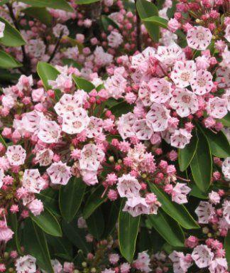 Kalmia latifolia Kalmia latifolia-Berglaurier/lepelboom 25-30 C