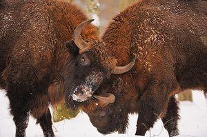Week in wildlife: European bison (Bison bonasus) Bialowieza forest, Poland