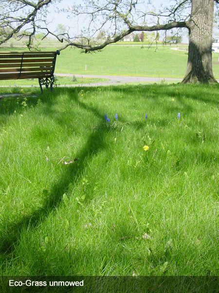 Prairie Moon Nursery Ground Covers Eco Grass Low
