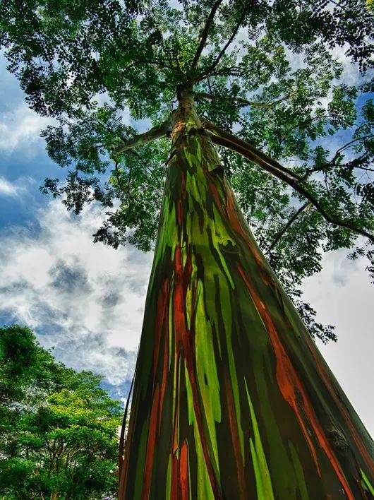 """Eucalipto arco-íris. Esta curiosa árvore pertence à espécie """"Eucalyptus deglupta"""". Sua característica mais marcante é precisamente a coloração vistosa do seu tronco, que o levou a ganhar o apelido de Eucalipto arco-íris. O aspecto marcante destas plantas ocorre devido à forma como eles movem sua casca. Fotografia: Dasha Miroslavova."""