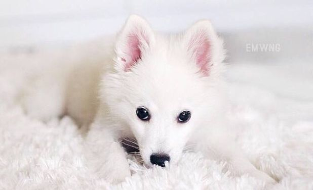 A less well-known breed closely related to some other fluffy wolf-like dogs, here are some things that only those humans lucky enough to own an American Eskimo dog would understand.