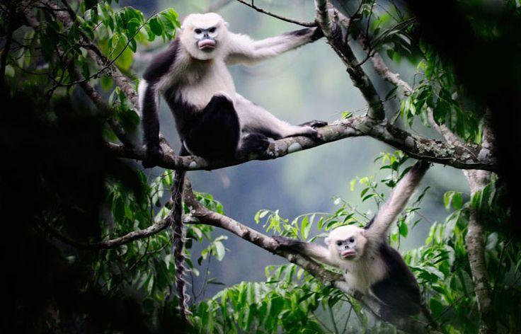 animais-em-extincao-macaco-rhinopithecus-avunculus-localizacao-vietna