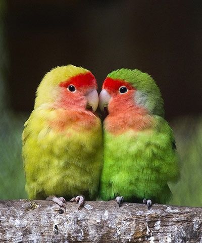 A couple of lovebirds at the El Nido aviary, in Ixtapaluca, near Mexico City. The aviary is the third largest in the world, with more than 320 species of birds and more than 3,000 specimens. Lovebirds are a social and affectionate species of small parrot. Photograph: Ronaldo Schemidt/AFP/Getty Images.