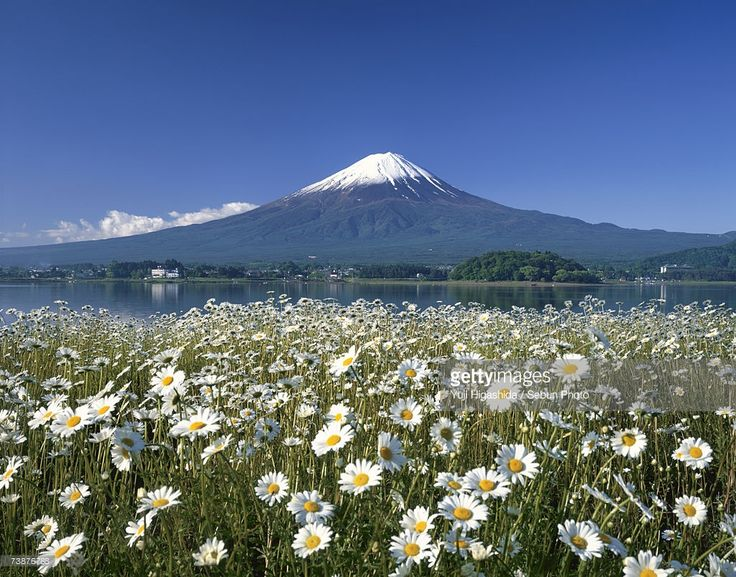 Stock Photo : Japan, Yamanashi Prefecture, Lake Kawaguchi, Mt Fuji, Daisy flowers in field near lake with mountain in background