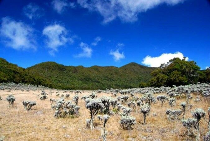 Edelweiss at Mount Gede, Indonesia ~Photo taken by Heri Heriyanto