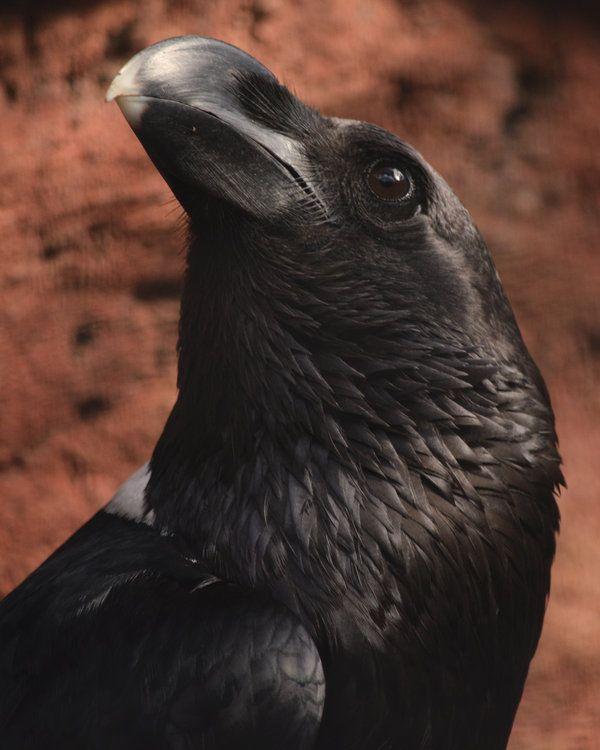 Portrait of a White-necked Raven by Canislupuscorax on DeviantArt