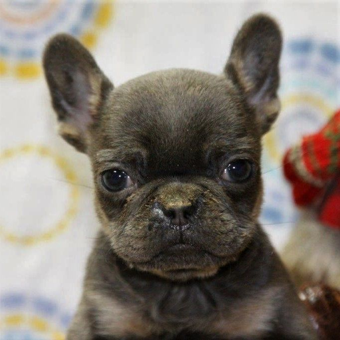 Charming Frenchulldog Pet Camera French Bulldog Puppies