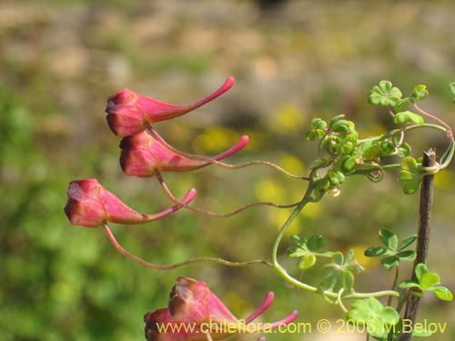 Image of Tropaeolum tricolor (Soldadito rojo / Relicario). Click to enlarge parts of image.
