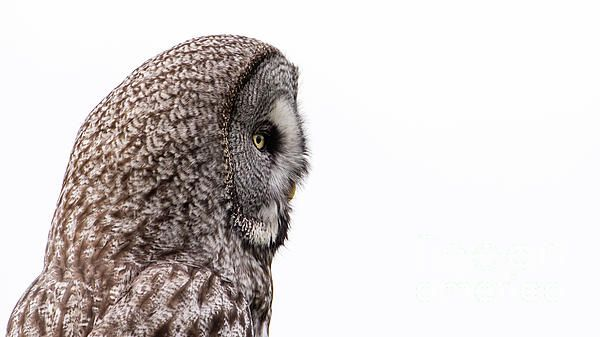 A Great Grey Owl (Strix Nebulosa) shows his beautiful profile when perching with a nice white cloudy background.
