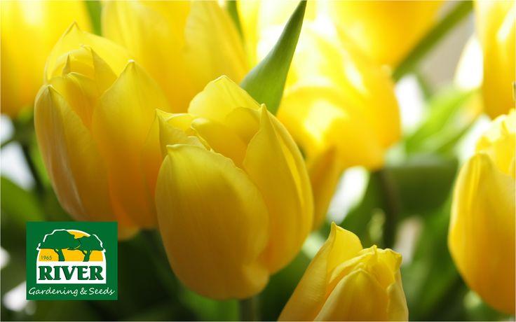 Tulipanes Amarillos, luz primaveral en tu jardín.