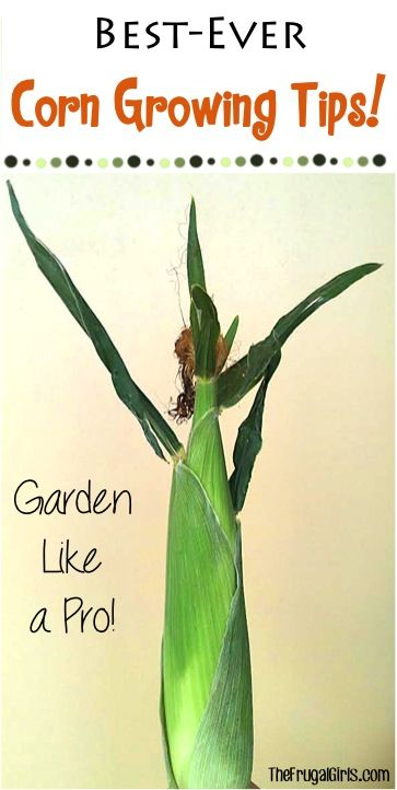 Best Ever Corn Growing and Gardening Tips from TheFrugalGirls.com