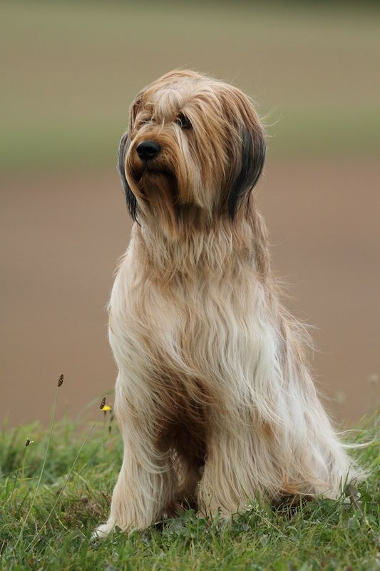 Briard | Pictures, Information, and Reviews
