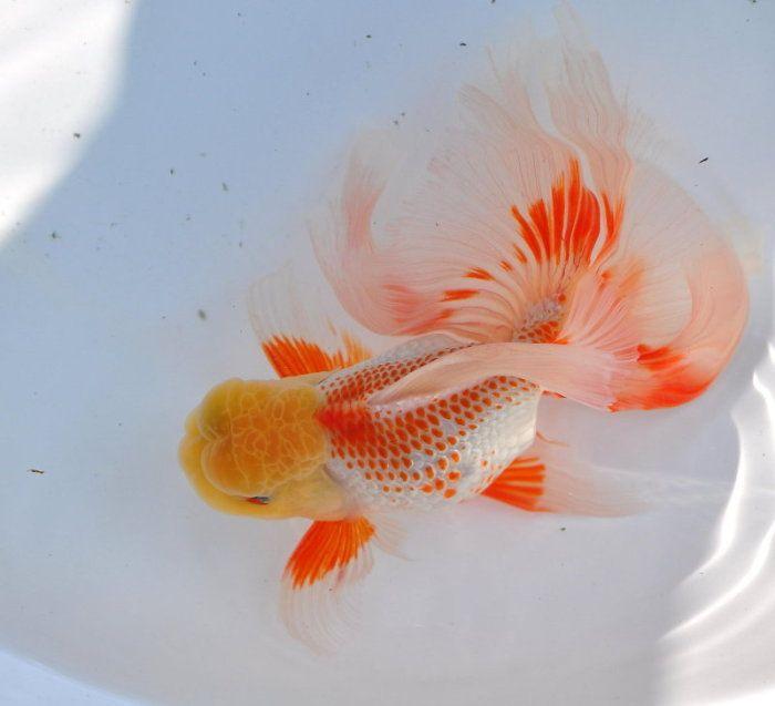 Red white Phoenix tail Oranda