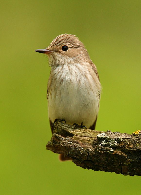 Spotted flycatcher  By: Sandor Bernath