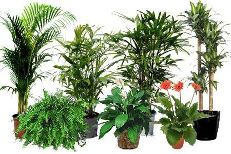 Rośliny doniczkowe usuwające toksyny z powietrza najlepsze do domu