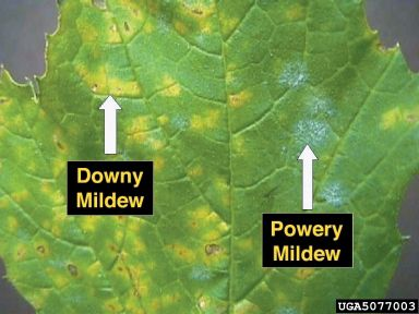 Plant diseases. Good Photos and what to do about it. This is a very good article.