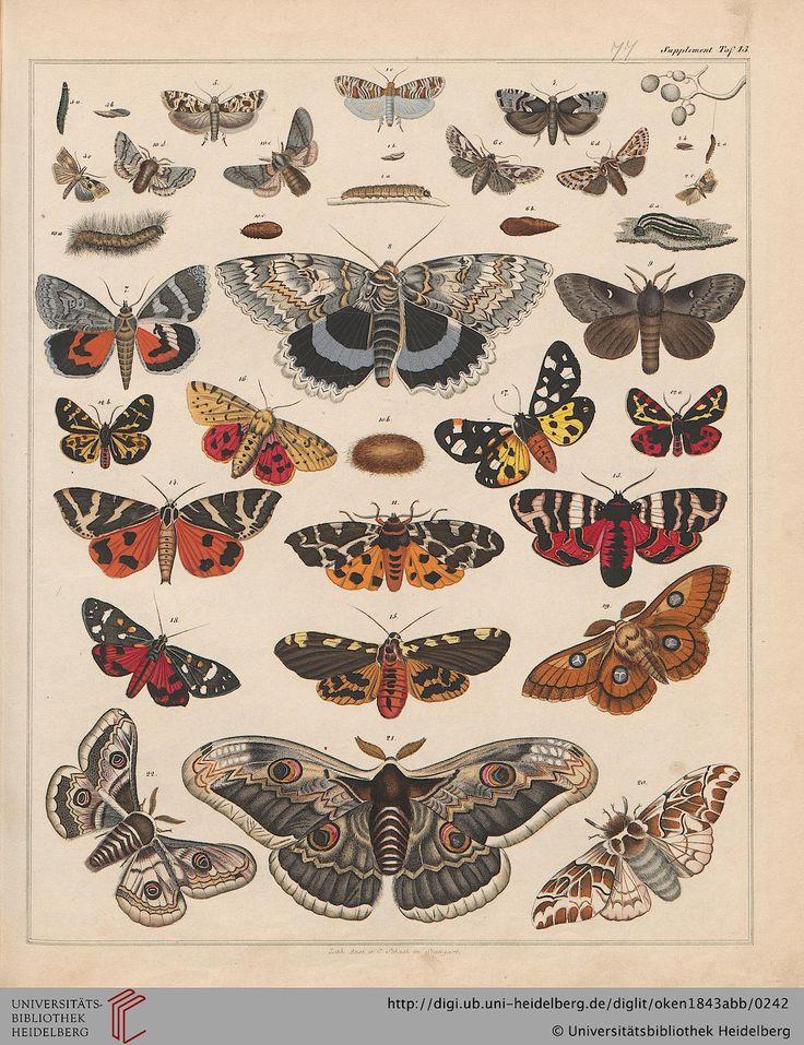Motten ~ Schmetterlinge ~ Allgemeine Naturgeschichte: Für alle Klassen, Lorenz Oken, 1843.