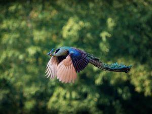 Un pavo real volando