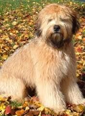 Image result for soft coated cairn terrier