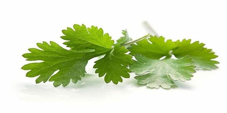 Kolendra - Poniżej opisujemy potężny naturalny środek, który szybko wyleczy wszelkiego rodzaju zaburzenia związane z wątrobą lub nerkami. Lekarstwem jest rzeczywiście zioło używane w kuchni na co dzień - kolendra.
