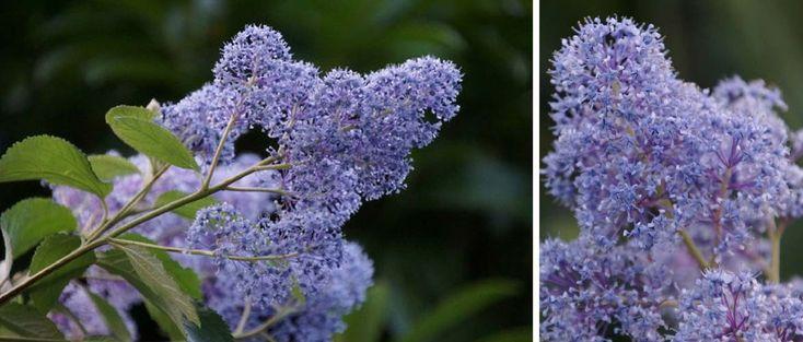 Les céanothes (ceanothus) ou Lilas de Californie sont des arbustes à fleurs bleues et feuillage persistant ou caduc. Découvrez les conseils de nos experts pour bien les planter, les tailler et en prendre soin au jardin !