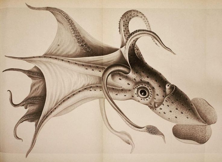 Umbrella Squid (Histioteuthis bonnellii). #SciArt from Carl Chun The Cephalopoda translated by Albert Mercado (1975). Contributed for digitization by Smithsonian Libraries (@silibraries) to #BiodiversityHeritageLibrary. http://www.biodiversitylibrary.org/page/32124157 #UmbrellaSquid #Squid #Cephalopod #Cephalopoda #BHLib #Biodiversity #NaturalHistory #NatHist #ScientificIllustration #ScientificArt #OpenAccess #Libraries #Archives #SpecialCollections